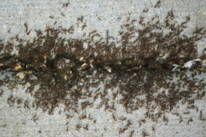 Solving Pavement Ant Problems Ross Pest Control Amp Mold