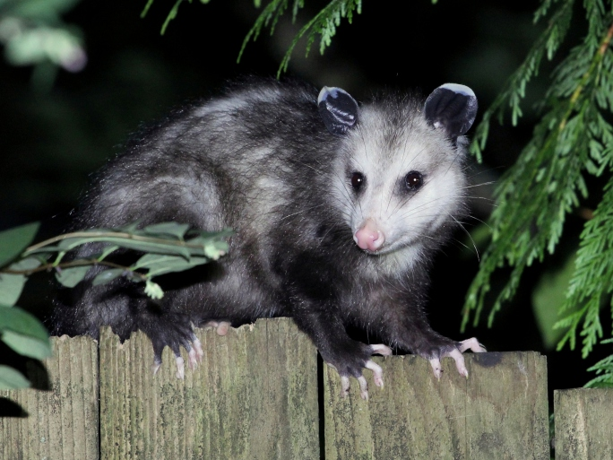 Oh No Opossum Control And Removal