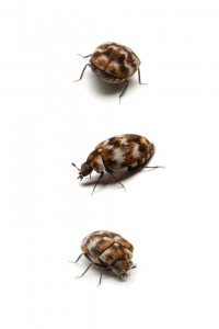 Three carpet beetles, isolated on white