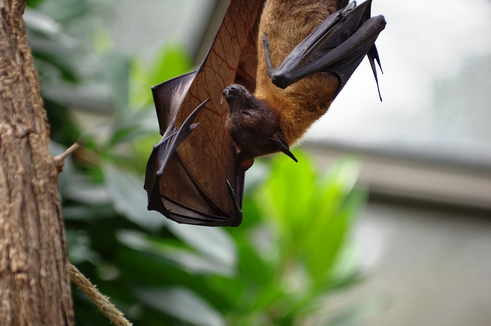 Do Bats Hibernate Or Migrate During Winter In Marlton Nj Need For Bat Exclusion Spring